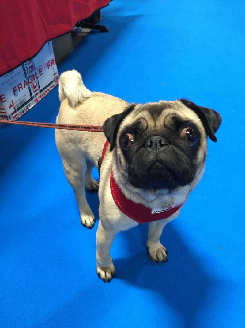 Sylvia the pug from Doggie Places